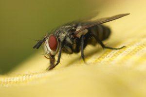 В Роспотребнадзоре назвали один из самых опасных видов мух